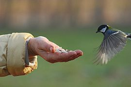 Parus major in flight 01.jpg
