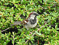 Passer domesticus House Sparrow 02.JPG
