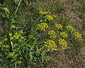 Pastinaca sativa PID1760-1.jpg