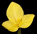 Patersonia umbrosa var. xanthina - Flickr - Kevin Thiele.jpg