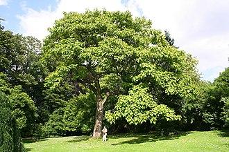 Paulownia tomentosa - Image: Paulownia tomentosa JPG2a