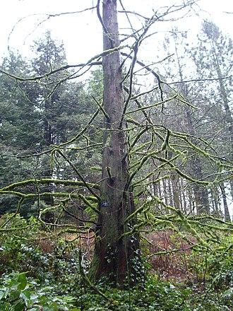 Hoyt Arboretum - Mature Dawn Redwood (Metasequoia glyptostroboides) in winter