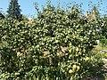 Pear tree. - Rákóczi St., Budakeszi, Hungary.JPG