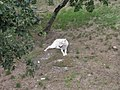 Peaugres loup blanc.jpg