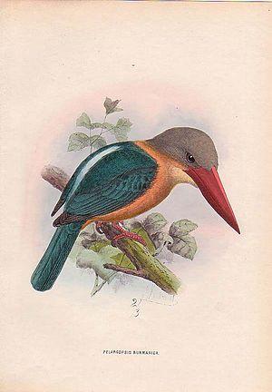 Stork-billed kingfisher - Pelargopsis capensis burmanica by Keulemans