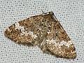 Perizoma alchemillata - Small rivulet - Ларенция пикульниковая (40957388951).jpg