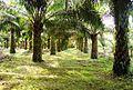 Perkebunan kelapa sawit milik rakyat (27).JPG
