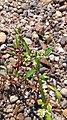 Petite renouée (Persicaria minor).jpg