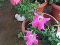 Petunia hybrida pink magic-1-yercaud-salem-India.JPG