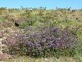 Phacelia crenulata 16.jpg