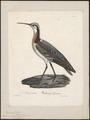 Phalaropus wilsonii - 1825-1834 - Print - Iconographia Zoologica - Special Collections University of Amsterdam - UBA01 IZ17400374.tif