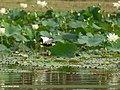 Pheasant-tailed Jacana (Hydrophasianus chirurgus) (29749145628).jpg