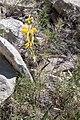 Phlomis lychnitis-Phlomis lychnite-20160520.jpg