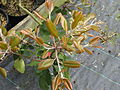 Photinia sp Bodnant (17145484308).jpg