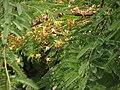 Phyllanthus acidus001.jpg