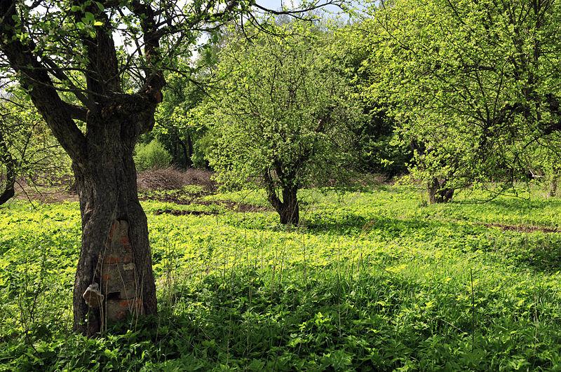 File piante di melo centenarie a jasnaja for Piante da frutto nord italia