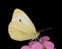 repin belin (Pieris rapae)