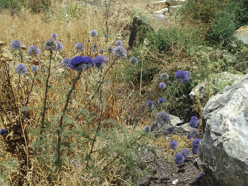 צמחי קיפודן בארבל