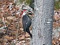 Pileated Woodpecker SandwichNH RWD.jpg