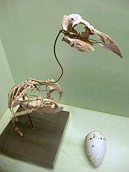 Pinguinus impennis (skeleton) at Göteborgs Naturhistoriska Museum 8585.jpg