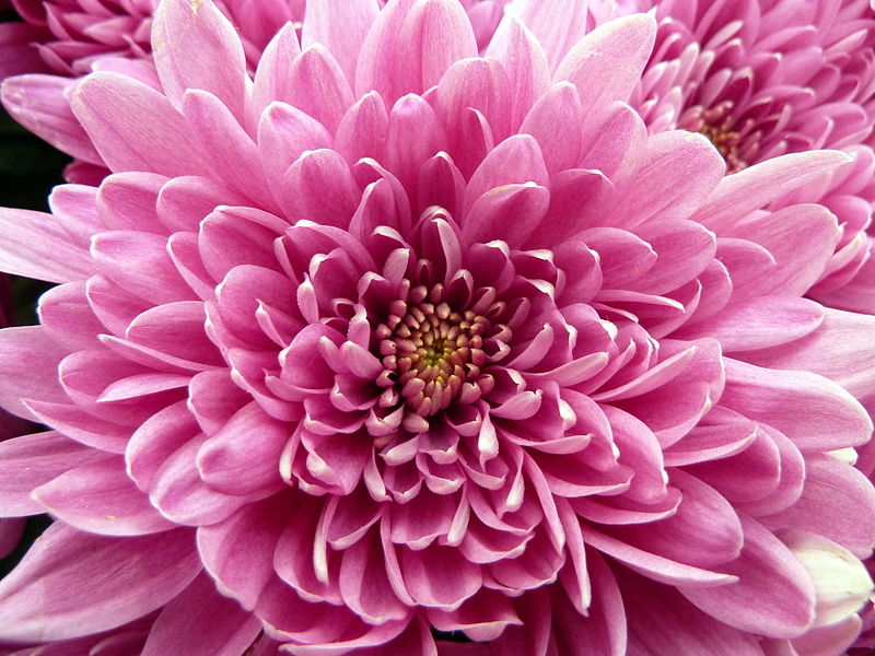 november birth flower chrysanthemum  proflowers blog, Beautiful flower
