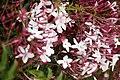 Pink jasmine bush.jpg
