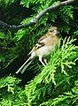 Pinson des arbres femelle 1.JPG