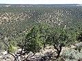 Pinus edulis kz12.jpg