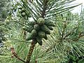 "Pinus nigra ""sex-change mutation"" - Flickr - S. Rae.jpg"
