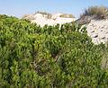 Pinus pinea foliage Doñana.jpg