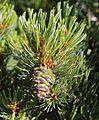 Pinus pumila (Mount Ontake).JPG