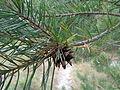 Pinus sylvestris 01.JPG