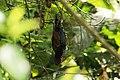 Pionus chalcopterus -Ecuador-8.jpg