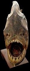 Piranha face.jpg