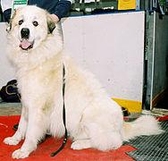Pirenejski pies górski 17.jpg