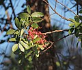 Pistacia terebinthus 20150813a.jpg