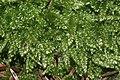 Plagiothecium curvifolium (b, 144830-474708) 6141.JPG