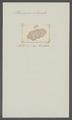 Planaria atomata - - Print - Iconographia Zoologica - Special Collections University of Amsterdam - UBAINV0274 105 09 0011.tif