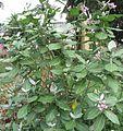 Plant Erukku.jpg