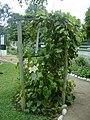 Planta de Omagua en el Jardín Botánico de Lima.jpg