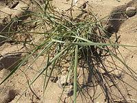 Plante du littoral, fin juillet 2015 à Port-des-Barques 06.JPG