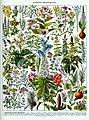 Plantes médicinales planche 2 - Medicinal plants, medical herbs, botanical illustrations, plate 2 - Public domain illustration from Larousse du XXème siècle 1932.jpg