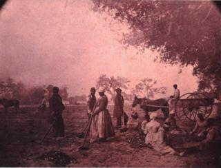 Planting sweet potatoes, james hopkinson's plantation.png