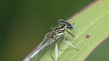 File:Platycnemis pennipes (male) -2013-06-03.webm