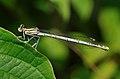 Platycnemis pennipes qtl4.jpg