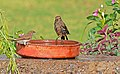Please Keep Clean Water in Shallow Dishes to Help Birds Survive The Current Heat Wave!! (4534076340).jpg