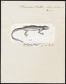 Pleurodeles waltlii - 1700-1880 - Print - Iconographia Zoologica - Special Collections University of Amsterdam - UBA01 IZ11400097.tif