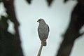 Plumbeous Hawk 2015-06-09 (5) (40326975931).jpg