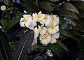 Plumeria obtusa (flowers).jpg