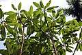 Plumeria rubra 11zz.jpg